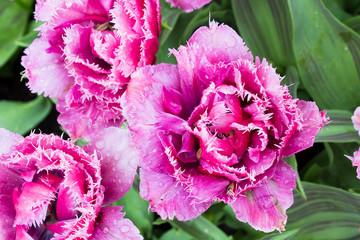 pink tulip in a garden