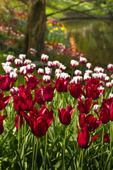 Burgundy red and white tulips in spring