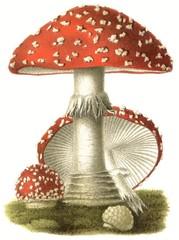 Poisonous mushroom Amanita muscaria