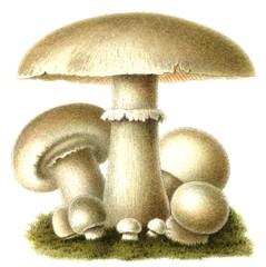 Edible mushroom Champignon (Agaricus campestris)