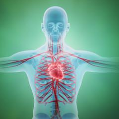Human circulatory system