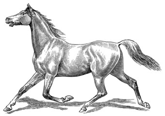 The style walk a horse. Trot (horse gait).