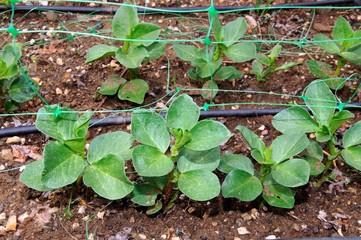 Broad bean seedlings © Arena Photo UK