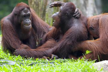 Borneo Orangutan Fotomurales