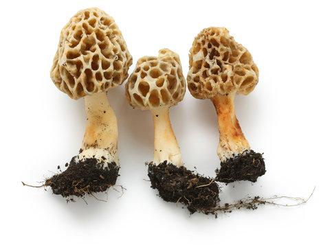 morels, edible mushrooms