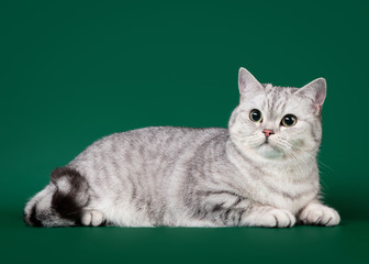 Young british cat on dark green background