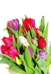 Spoed Fotobehang Macro Garden tulip