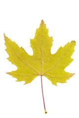 Obraz Suszony liść klonu - fototapety do salonu