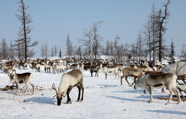 SIBERIE : Troupeau de Rennes en péninsule de Yamal