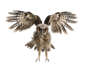 Portrait of Brown Wood Owl, Strix leptogrammica, flying