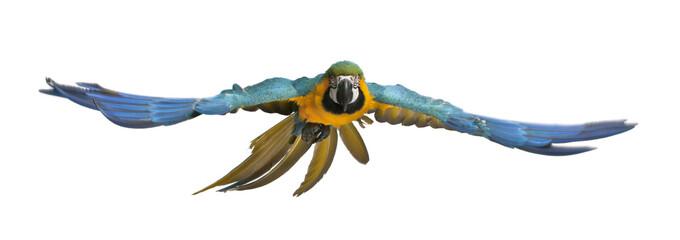 Fond de hotte en verre imprimé Perroquets Portrait of Blue and Yellow Macaw, Ara Ararauna, flying