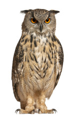Foto op Aluminium Uil Eurasian Eagle-Owl, Bubo bubo, a species of eagle owl