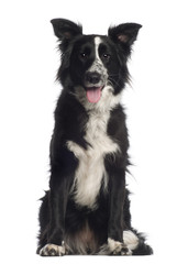 Portrait of Border Collie, 1 year old, sitting