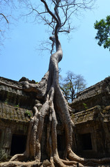 Vegetación en el templo de Ta Prohm. Angkor. Camboya