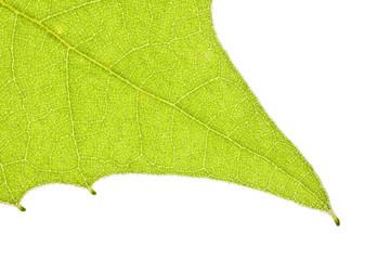 Sycamore Leaf Macro Detail