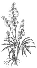 Broomrape or broom-rape (Orobanche Ramosa)