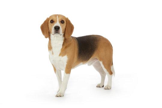 portrait chien Beagle debout