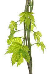 Hops vine plant young leaves in spring