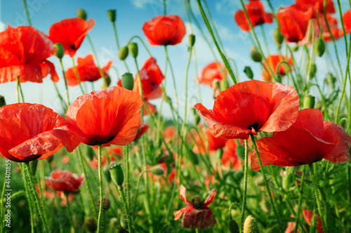 Wall mural poppies on green field