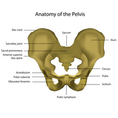 anatomy of the pelvis medical vector illustration