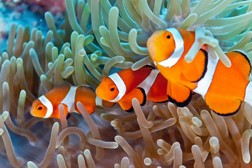 Garden Poster Under water Clownfish