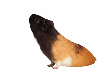 black brown guinea pig isolated on white