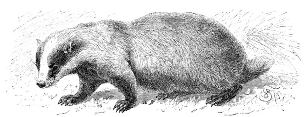Shows the badger (Meles taxus).