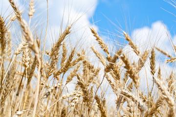 Gold wheat field