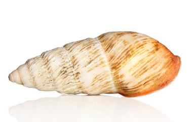 Big snail shell