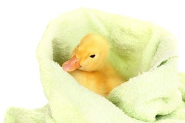 Duckling in towel isolated on white