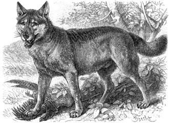 Depicted Gray wolf (Canis lupus)