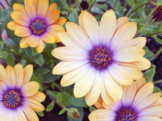 flor Dimorfoteca