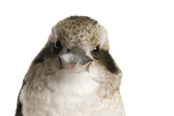 Kookaburra (genus Dacelo) 10 years old on white background.