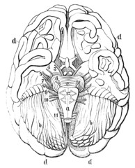 An old engraving of the human brain