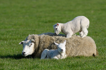 Two lambs lying with and on mothers back. Wall mural