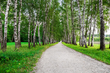 Aluminium Prints Birch Grove path in birch forest