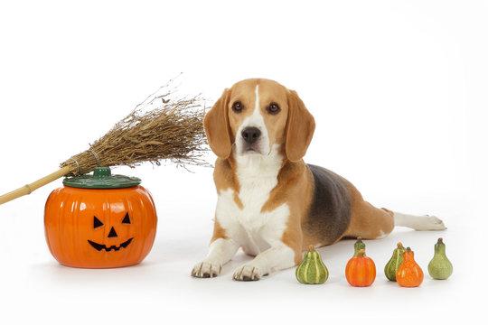 chien beagle dans décor Halloween