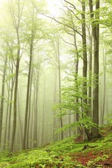 Keuken foto achterwand Bos in mist Landscape of beech forest on a foggy spring morning
