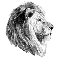 Sketch illustration of a lion head