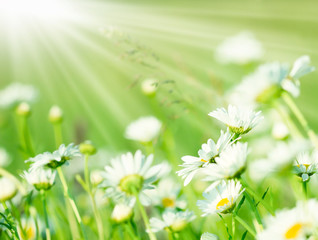 Spring daisy in meadow and sunlight