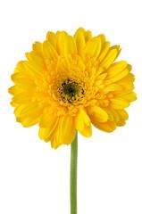 Yellow gerbera daisy flower