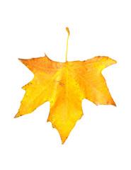 beautiful autumn maple leaf isolated on white background