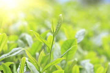 Close-up green tea bud and leaves in Tea plantations