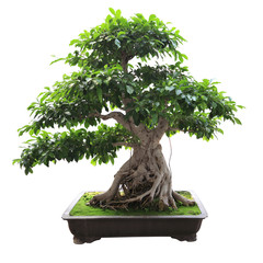 bonsai banyan tree