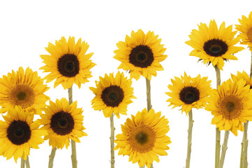 7 yellow sunflower on white background