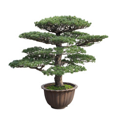 big bonsai pine