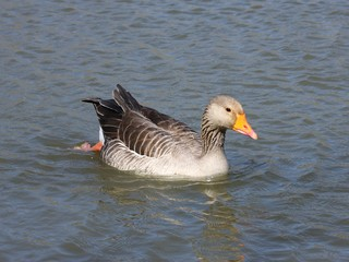 Greylag Goose Anser anser swims in the pond.