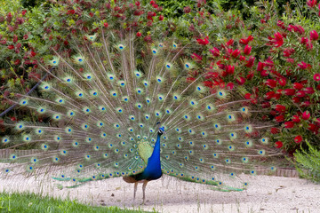 Beautiful male peacock showing it's feathers.