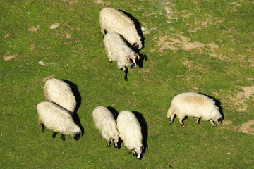 White sheep grazing