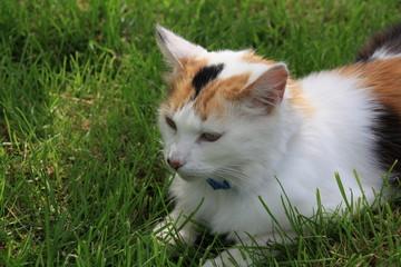 Chat, félin, portrait, le plus beau pose dans l'herbe